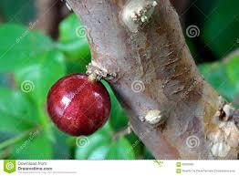 native plants in brazil jabuticaba a brazilian fruit stock photo image 62903369