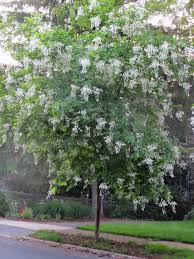 kentucky native plant society fragrant white panicles of flowers make kentucky yellow wood