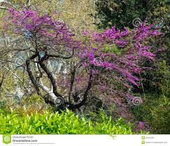 tree with purple flowers purple flowers on tree stock photo image of botany branches