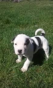 1 year old australian shepherd for sale australian shepherd puppy for sale in high point nc adn 26938 on