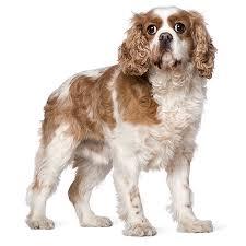 affenpinscher uk breeders affenpinscher see description and pictures dogsuniverse co uk