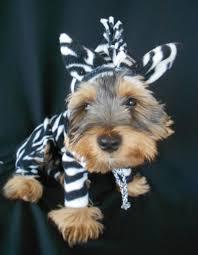Yorkie Costumes Halloween 26 Exotic Zebra Pet Necessities Images Zebras