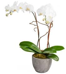 white orchids white orchids fresh blooms langley surrey flowers