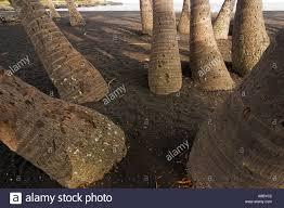 coconut tree root roots stump stumps on punaluu black sand beach
