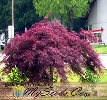 burgundy lace japanese maple tree seed seeds acer palmatum