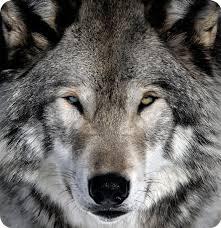 celtic zodiac sign wolf hound