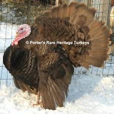 heritage turkey breeds for the rural american description from