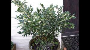 Fragrant Indoor House Plants Best And Most Fragrant Flowers For Container Garden Youtube