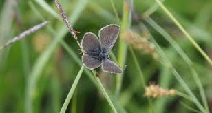 small blue butterfly found in co fermanagh