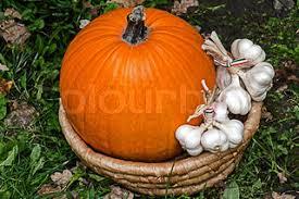 giant over 500 kg pumpkin winner of the swiss pumpkin contest