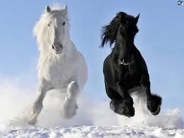 white mustang horse black and white horses in the snow pictures photos and images