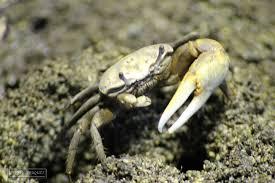 Pleins De Crabe Violonistes Très Les Mamelles Jardin Zoologique