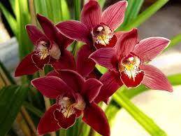 cymbidium orchid living house plants caring for your cymbidium orchid