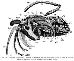 illustrations from anatomy of the honey bee by r e snodgrass