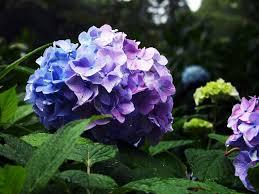 Purple Hydrangea Dark Purple Hydrangea Wallpaper
