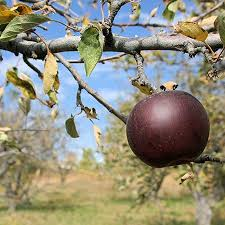 arkansas black apple tree for sale fast growing trees