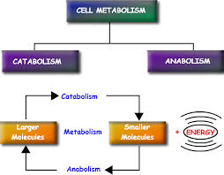 Where Do The Light Independent Reactions Occur Cell Metabolism Types Of Cell Metabolism Biology Tutorvista Com