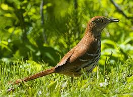 South Dakota birds images Georgia state bird brown thrasher jpg