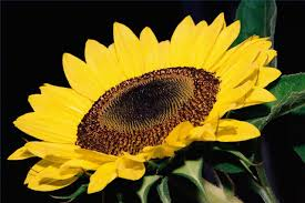 how to treat sunflower pests hunker