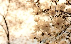 magnolia backgrounds 4k download