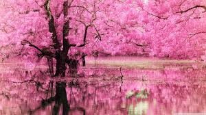 pink trees reflected in water 4k hd desktop wallpaper for 4k