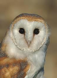 Barn Owl Photography The Barn Owl Centre Barn Owl Photos The Barn Owl Centre Is A