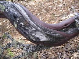 manzanita trees manzanita wood products