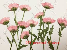 pressed flowers free shipment pressed flower dried flower diy materials lateral