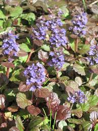 exterior design sweet purple flowers bugleweed for beautiful