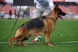 australian shepherd crufts 2016 pedigree dogs exposed the blog revealed the gsd at crufts that