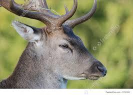 Deer Head by Image Of Deer Head