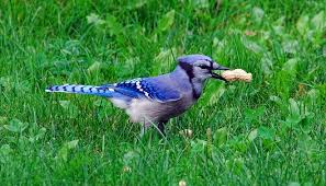 blue jay u2013 spirit animal symbolism and meaning