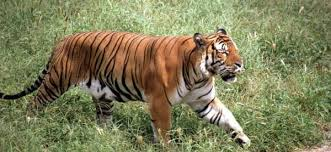 year of the tiger king of the jungle faces extinction help save