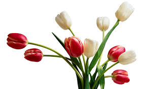Ottoman Tulip by Tulips World Of Flowers