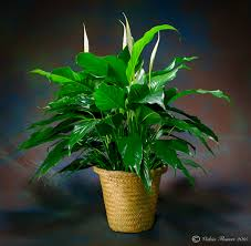 indoor plants for home u0026 office green plants vickies flowers