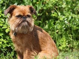 affenpinscher for sale canada affenpinscher breeders in alberta freedoglistings