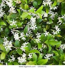 Fragrant Jasmine Plant - best 25 jasmine bush ideas on pinterest gardenia care diy