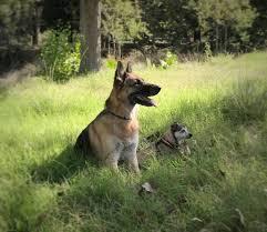 belgian sheepdog georgia dunder home facebook