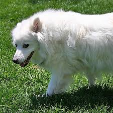 american eskimo dog shedding cute dog pictures our american eskimo dog growing up the dog guide