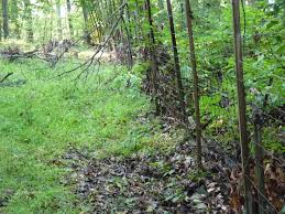 non native plants deer eating habits have lasting damage on forests cals