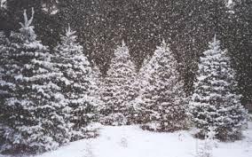christmas tree with snow real christmas trees for sale in deming wa river s edge u cut