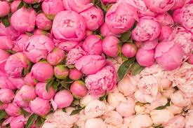 peonies flowers peonies flower markets this is glamorous