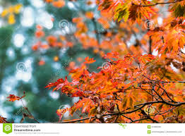 Fall Autumn by Fall Autumn Japanese Maple Branches Green Leaves Red Orange