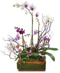 Plants Blooming Blooming Orchid Plants Flowering Plants Woyshners Flower Shop