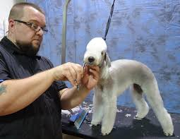 grooming a bedlington terrier puppy what are some of the best grooming tools find out in this edition