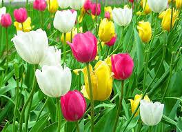 tulips flowers tulipános virág háttérkép 3 csak tulipánok
