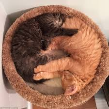 Kitten Bed Cat Friends Renley And Lili Still Insist On Sharing Their Kitten