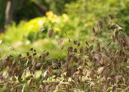 native plants in landscape management gardening with native plants and grasses inland sea oats thrive