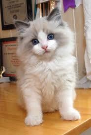 best 25 ragdoll cats ideas on pinterest pretty cats birman cat