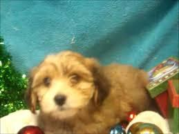 bichon frise vs yorkie male yorkichon yorkshire terrier x bichon frise youtube